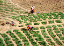 Trabalho nos campos - Ghana Foto de Stock