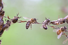Trabalhos de equipa das abelhas imagens de stock