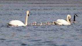 Trabalhos de equipa das cisnes fotografia de stock royalty free
