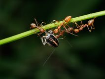 Trabalhos de equipa vermelhos das formigas do tecelão, trabalhos de equipa vermelhos das formigas Fotografia de Stock Royalty Free