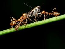 Trabalhos de equipa vermelhos das formigas do tecelão, trabalhos de equipa vermelhos das formigas Imagem de Stock Royalty Free
