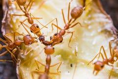 Trabalhos de equipa vermelhos das formigas do tecelão Imagem de Stock Royalty Free