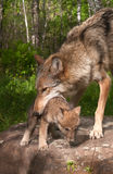 Trabalhos de Grey Wolf (lúpus de Canis) para pegarar o filhote de cachorro Imagens de Stock