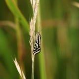 Trabealis de Emmelia de la mariposa foto de archivo
