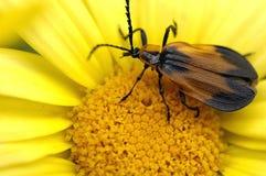 Trabeatus de Lycus alimentant sur une fleur Photo libre de droits