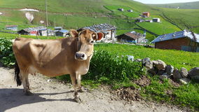 Trabzon Uplands and The Cow Stock Photography