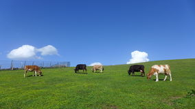 Trabzon Uplands and The Cows Stock Photo