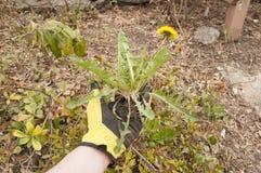 Tracción de malas hierbas Foto de archivo libre de regalías