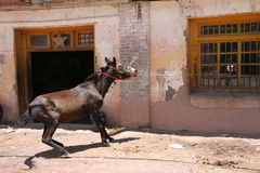 Tracción del caballo Imágenes de archivo libres de regalías