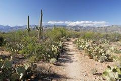 Traccia attraverso la foresta gigante del cactus del Saguaro Immagini Stock