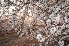 Traccia del fiore di California Immagine Stock