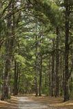 Traccia del pino immagini stock libere da diritti