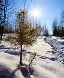 Traccia del pino della neve di Sun Immagine Stock