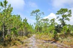 Traccia dell'albero di pino Fotografie Stock Libere da Diritti