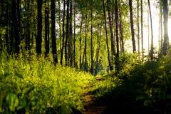 Traccia della foresta al sole Fotografia Stock