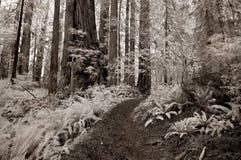 Traccia della foresta del Redwood nel Infrared Fotografia Stock Libera da Diritti