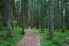 Traccia della foresta dell'albero di pino Immagine Stock Libera da Diritti