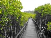 Traccia della foresta della mangrovia a Pranburi, Tailandia Immagini Stock