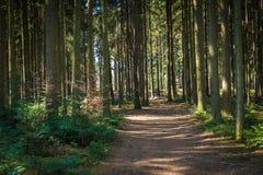 Traccia della foresta nella foresta di conifere fotografia stock libera da diritti