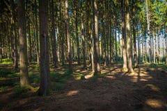 Traccia della foresta nella foresta di conifere immagine stock libera da diritti