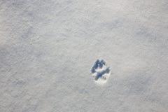 Traccia della zampa di un lupo sulla neve nell'inverno fotografia stock