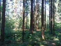 Traccia di Autumn Forest Tall Trees della natura Legno verde di luce solare Fotografia Stock Libera da Diritti