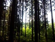 Traccia di Autumn Forest Tall Trees della natura Legno verde di luce solare Immagini Stock