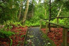 Traccia di escursione di nord-ovest pacifica della foresta Immagine Stock