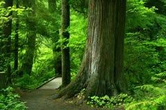 Traccia di escursione di nord-ovest pacifica della foresta Immagini Stock Libere da Diritti