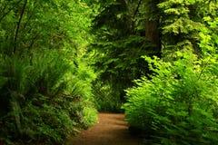 Traccia di escursione di nord-ovest pacifica della foresta Fotografie Stock Libere da Diritti