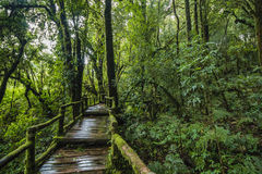 Traccia di Forest At Ang Ka Nature in Doi Inthanon Fotografia Stock