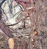 Traccia di montagna del pino Fotografia Stock