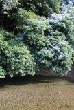 Traccia di neve sugli alberi di canfora in una regione calda di clima Fotografie Stock Libere da Diritti