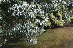 Traccia di neve sugli alberi di canfora in una regione calda di clima Fotografia Stock Libera da Diritti