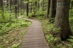Traccia ecologica fatta delle plance di legno per camminare in foresta, in immagini stock libere da diritti