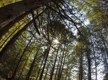 Traccia pacifica selvaggia delle cime d'albero fotografia stock libera da diritti