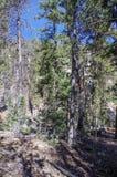Traccia superiore del ciclo di Bristlecone, Mt Charleston, Nevada fotografia stock libera da diritti