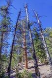 Traccia superiore del ciclo di Bristlecone, Mt Charleston, Nevada fotografie stock