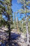 Traccia superiore del ciclo di Bristlecone, Mt Charleston, Nevada immagine stock