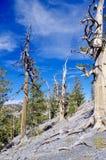 Traccia superiore del ciclo di Bristlecone, Mt Charleston, Nevada fotografie stock libere da diritti