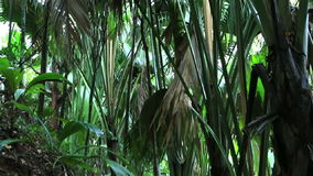 Traccia turistica in Vallée de Mai Nature Reserve stock footage