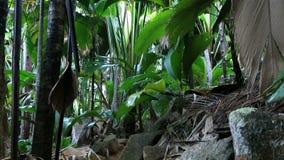 Traccia turistica in Vallee de Mai Nature Reserve archivi video