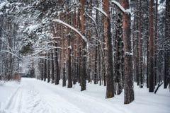 Traccia in un'abetaia, inverno Fotografie Stock