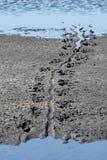 trace aligatora obrazy stock