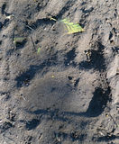 Trace bear paw on the ground Royalty Free Stock Photos