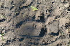 Trace bear paw on the ground Stock Images