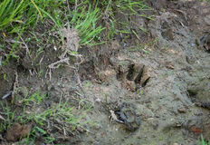 Trace of brown bear cub Royalty Free Stock Photography