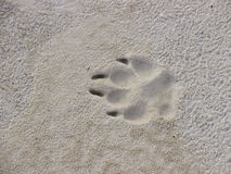 Trace of a dog paw on sand Royalty Free Stock Photo
