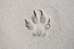 Trace dog paws in the sand. Stock Images