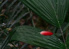 Trace of Red Ara Parrot. Who is missing a feather Royalty Free Stock Images